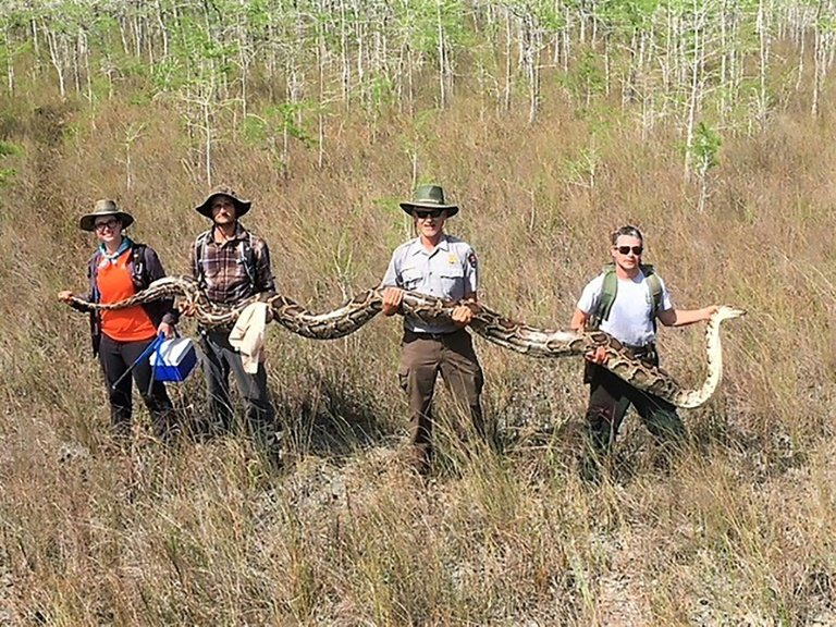 An Everglades record: largest female python captured in Big Cypress