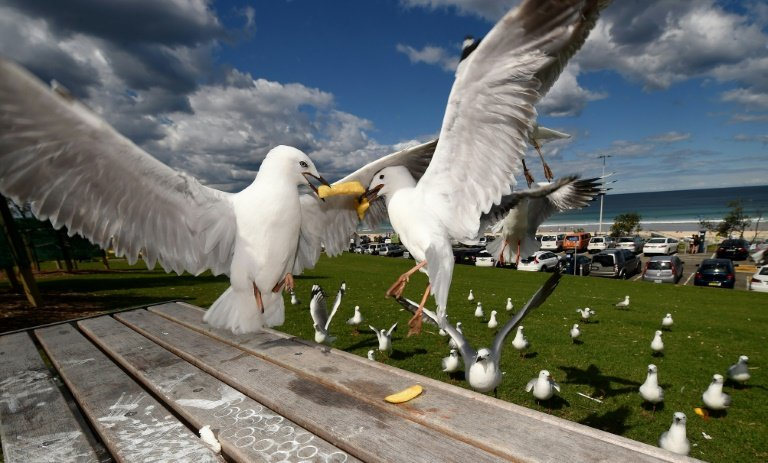 Australian seagulls as carriers of antibiotic resistant superbugs causes alarm