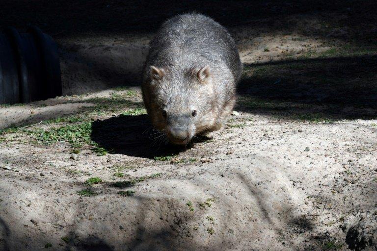 Off-duty Australian police officer filmed stoning wombat to death