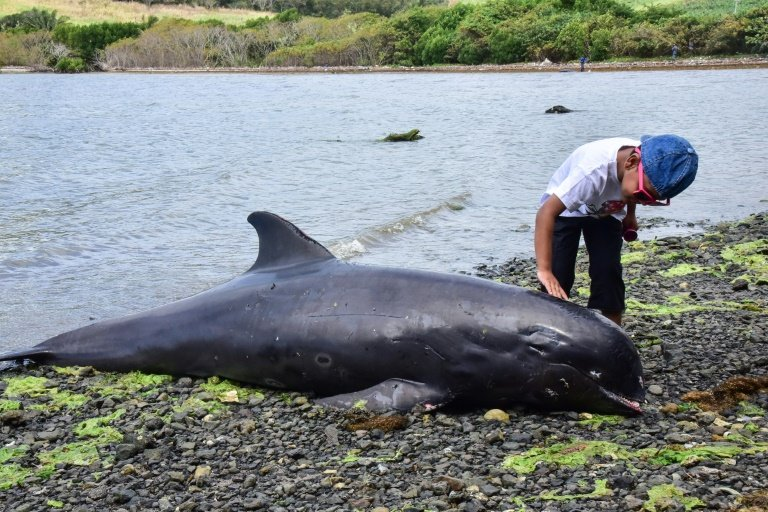 'Heartwrenching': at least 40 dolphins dead near Mauritius oil spill