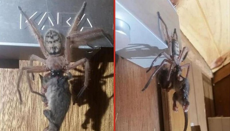 Nightmare fuel: Giant spider pictured eating POSSUM in Tasmania